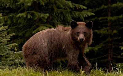 Kananaskis Grizzly. Flickr:sethgraham.photos