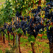 Harvest time in Nierstein, Germany. Flickr:Ulrich Vismann