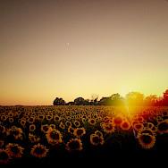 Sunset over sunflowers in Burgundy, France. Flickr:William Hutter