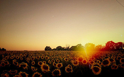 Sunset over sunflowers in Burgundy, France. Flickr:William Hutter