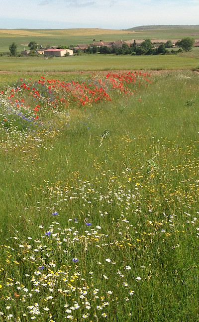 Wildflowers while hiking the Segovia Walking Tour in Spain. Photo via TO