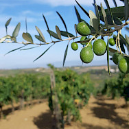 Olive groves in Tuscany, Italy.