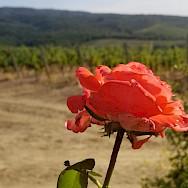 Lovely vineyards in Italy.