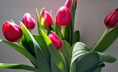 Fresh tulips in the cabin | Bike & Boat Tours