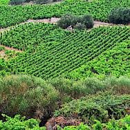 Orchards and vineyards in Pelješac, Croatia. Flickr:Miroslav Vajdic