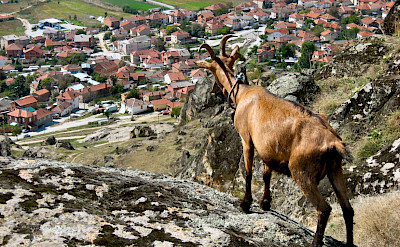 Mountain goat overlooking Bitola, Macedonia. Flickr:Pero Kvrzica