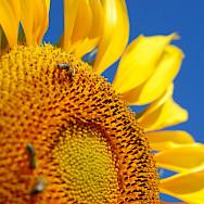 Sunflowers await in Macedonia. Creative Commons:Nikigango