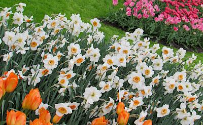Keukenhof near Lisse and Amsterdam is tulip heaven! Flickr:Imbiblio