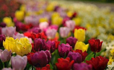 Tulips at the Keukenhof in South Holland, the Netherlands. Flickr:gnuckx