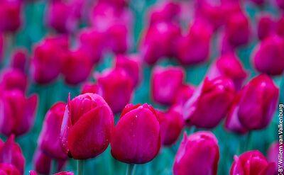 Tulips galore! Flickr:Willem van Valkenburg