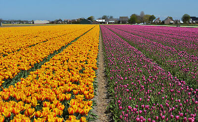 Tulip fields near Keukenhof. Flickr:Pug Girl