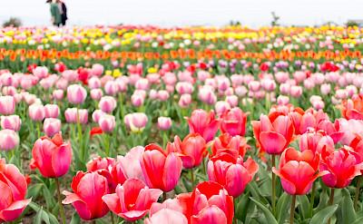 Tulips! Flickr:Tkiya