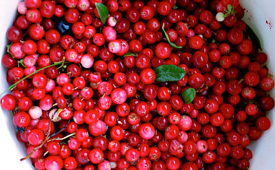 Lingon berries are a superfood commonly found in Scandinavia. Flickr:Kim Ahlstrom