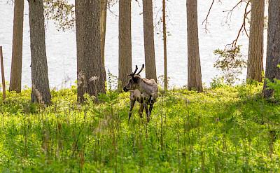 Reindeer roaming in Lapland, Finland. Flickr:Michael Ranzau