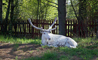 White reindeer in Lapland, Finland. Flickr:Hans Poldoja