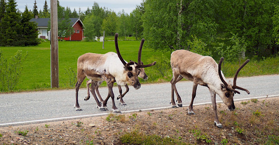 Reindeer in Akaslompolo Village, Western Lapland, Finland. Photo via TO