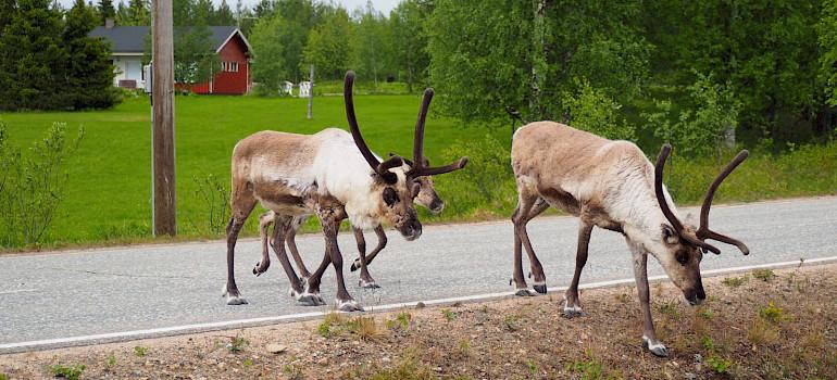 Reindeer in Akaslompolo Village, Western Lapland, Finland. Photo via TO
