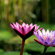 Lotus flowers represent spiritual growth and enlightenment in Thailand. Flickr:Piyush Kumar