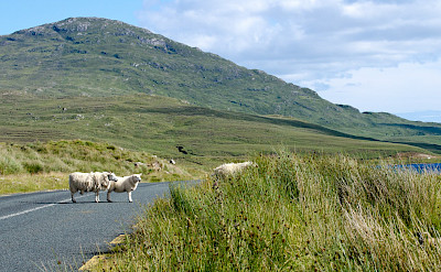 Biking past sheep in Connemara, Ireland. Flickr:Leo Daly