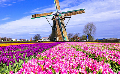 Windmills and tulip fields made Holland famous. Flickr:Matheus Swanson