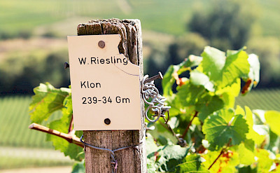 Riesling is a famous Mosel River wine in Germany. Flickr:M Hagemann
