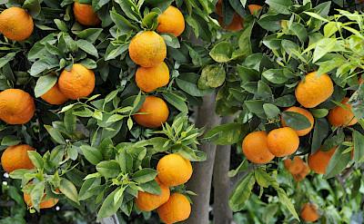 Oranges in Crete, Greece. Flickr:POTIER Jean-Louis