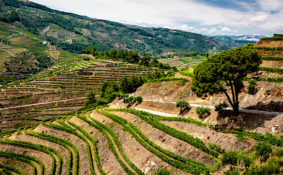 Terraced vineyards in the Douro River Valley in Portugal. Flickr:matseye