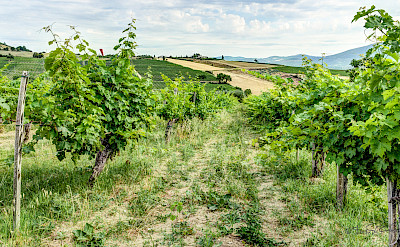 Vast vineyards in Umbria, Italy. Flickr:Steven dosRemedios