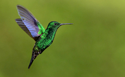 Steely-vented Hummingbird in Colombia. Flickr:Alejandro Bayer Tamayo