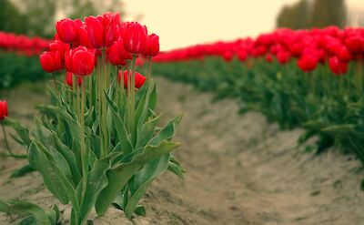 Fresh tulips! Flickr:Emergency Brake