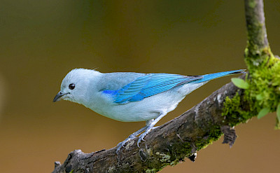 Blue-gray Tanager Finch in Colombia. Flickr:Becky Matsubara