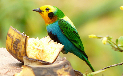 Multi-colored Tanager in Colombia. CC:mateo.gable
