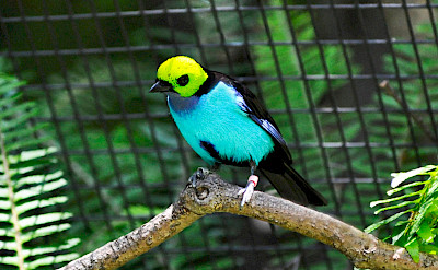 Paradise Tanager (tangara chilensis), an endemic bird to Colombia. Flickr:Heather Paul