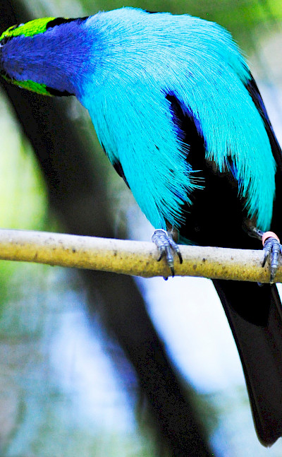 Paradise Tanager (tangara chilensis) in Colombia. Flickr:Heather Paul