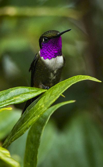 Purple-throated Woodstar (very small hummingbird) in Colombia. Flickr:Francesco Veronesi