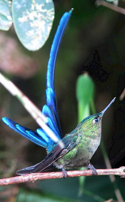 Violet-tailed Sylph in Colombia. Flickr:Felix Uribe