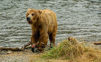 Brown bears in Alaska. Flickr:Terry Ott