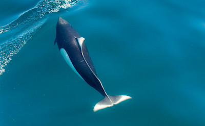 Dall's porpoises are the largest porpoises.