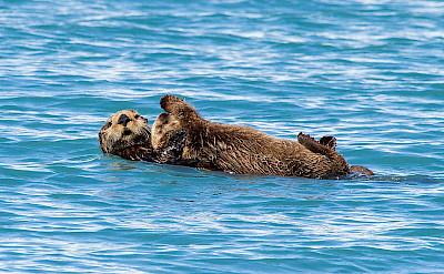 Sea otter in Kenai, Alaska.