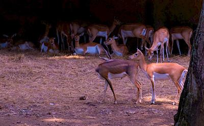 Impalas in Cali, Colombia. Flickr:Reg Natarajan