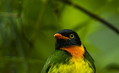 Orange-breasted Fruiteater in Colombia. Flickr:Francesco Veronesi