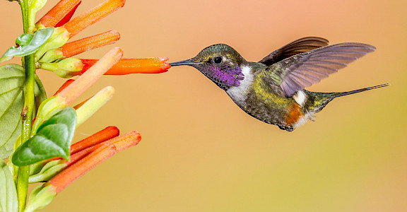 Purple-throated Woodstar, an endemic bird in Colombia. Flickr:Andy Morffew