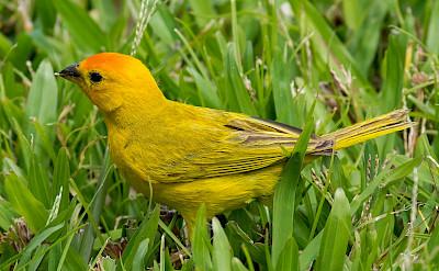Saffron Finch in Colombia. Flickr:Guy Courtemanche
