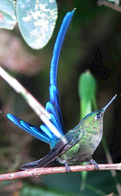 Violet-tailed Sylph in Chocó, Colombia. Flickr:Felix Uribe