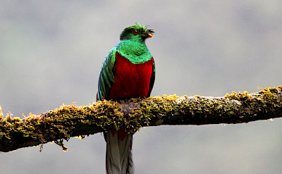 Crested Quetzal in Colombia. Flickr:vil.sandi