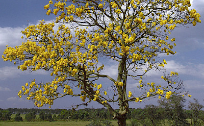 Flowering tree in Valledupar, Colombia. CC:Jose Reynaldo da Fonseca