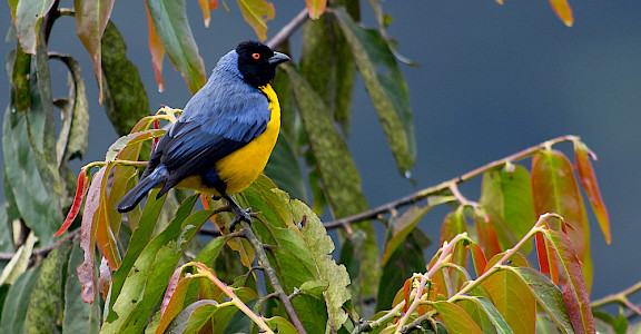 Hooded Mountain-Tanager in Colombia. Flickr:Joao Quental