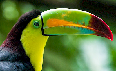 Keel-billed Toucan in Colombia. Flickr:Steven dosRemedios