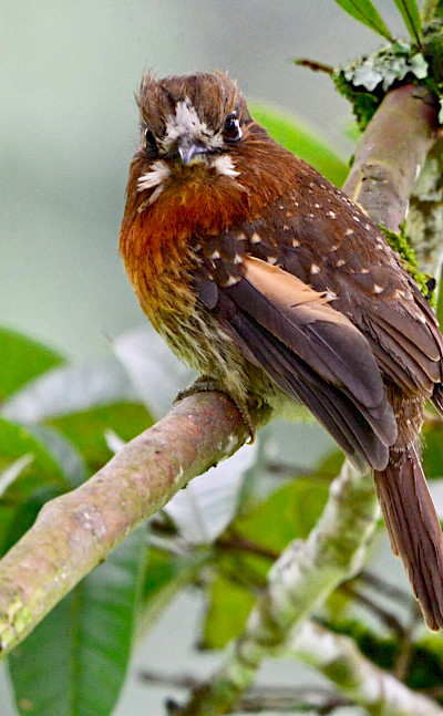 Moustached Puffbird in Colombia. Flickr:Alejandro Bayer Tamayo