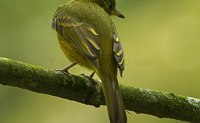 Ochre-bellied Flycatcher in Colombia. Flickr:Francesco Veronesi